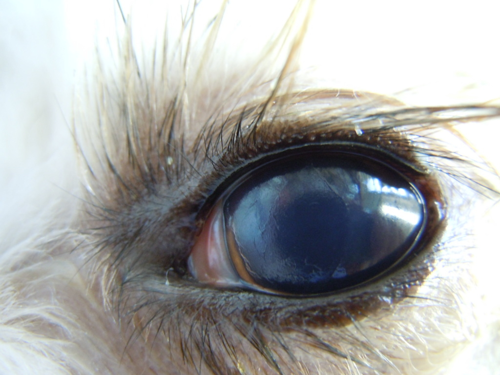 角膜潰瘍 犬