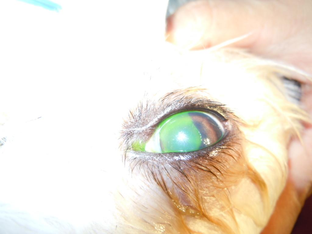 角膜潰瘍 フローレス染色
