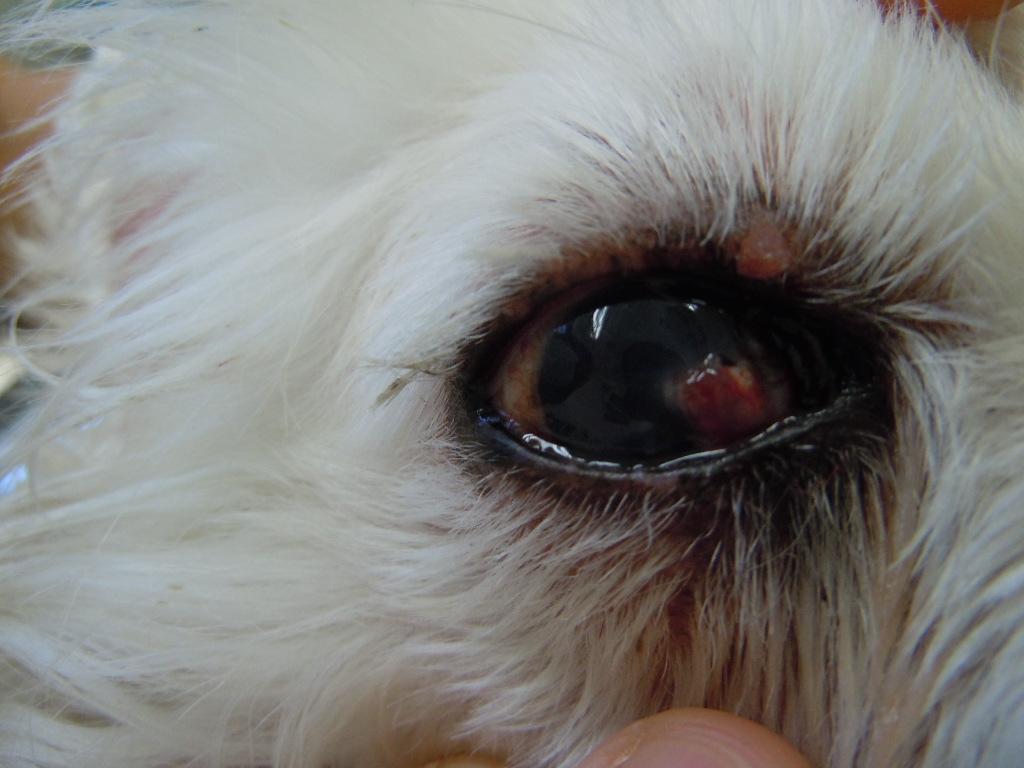 犬 結膜フラップ  一ヶ月後