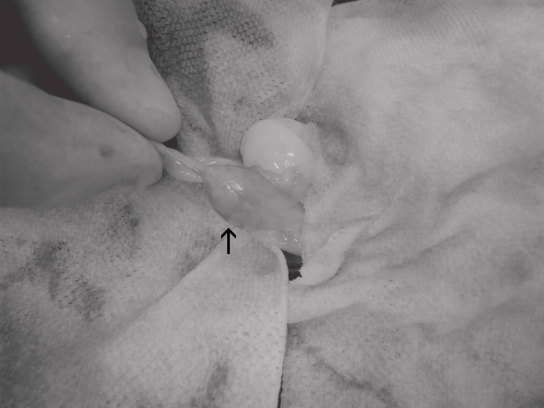 ウサギ 膀胱結石 手術