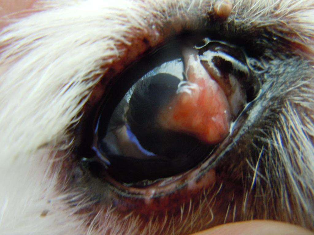 犬 結膜フラップ 手術後