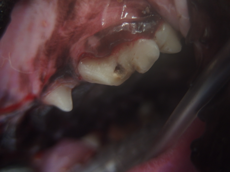 第4前臼歯破損