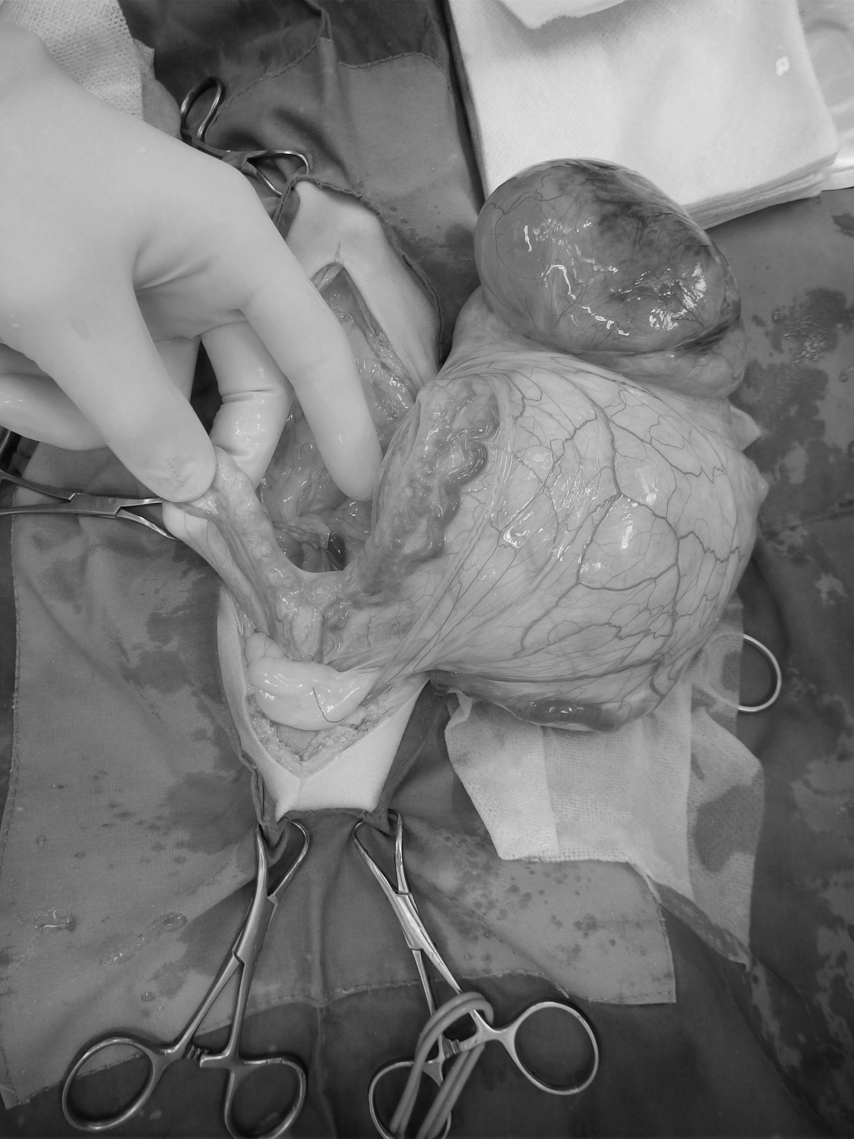 猫 子宮腫瘍
