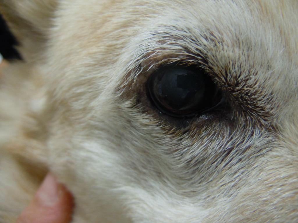 犬 眼瞼腫瘍 手術後