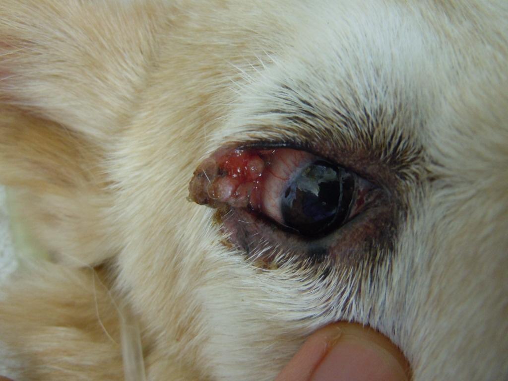 犬 眼瞼腫瘍 手術前