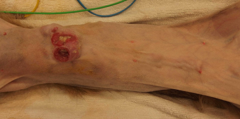 猫 乳腺腫瘍 3